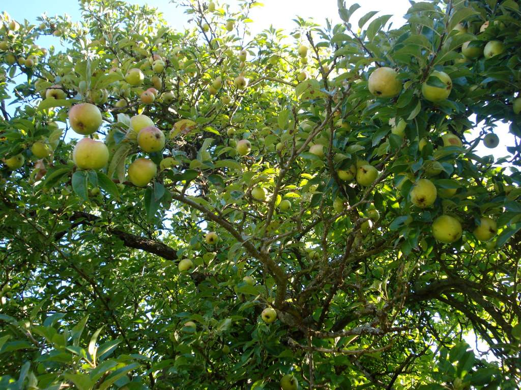 Apple tree, Normandy