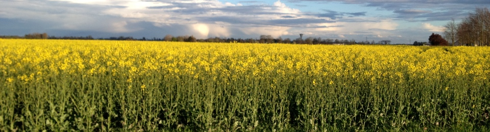 Yellow field near Sainte-Opportune-la-Mare