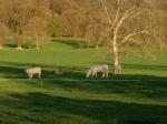 Cows, Marais Vernier
