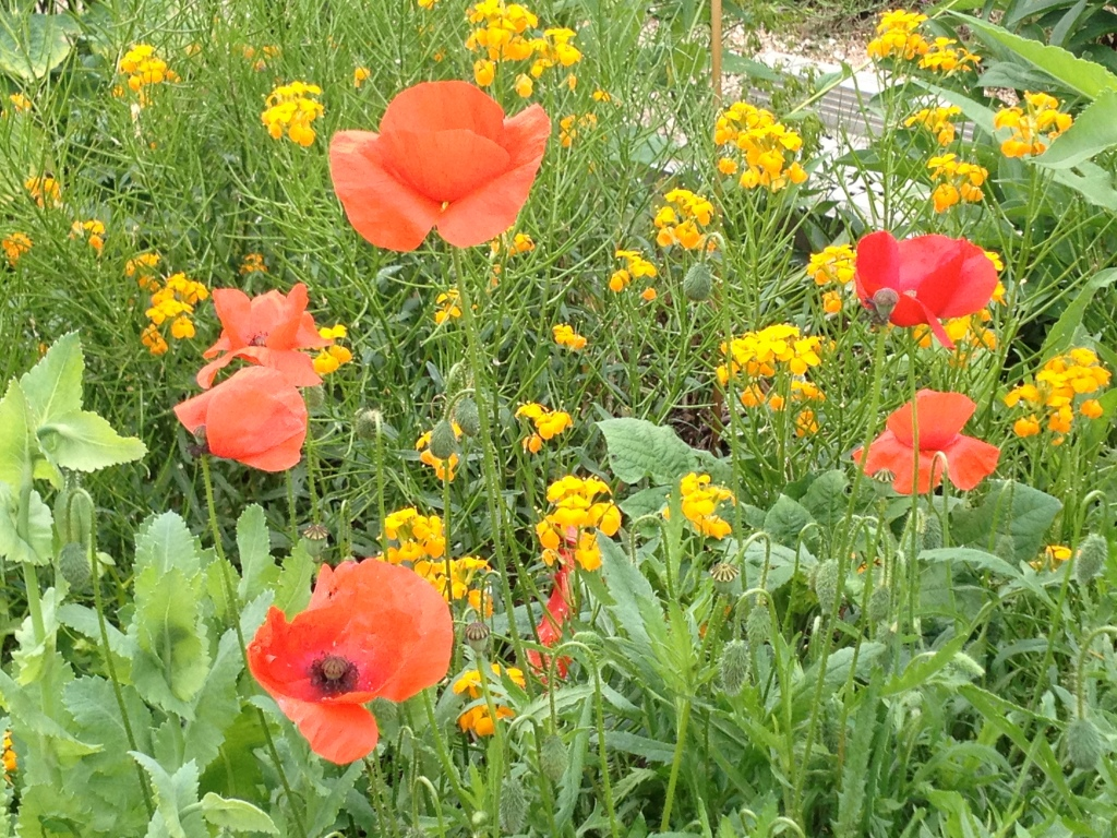 Poppies, Giverny