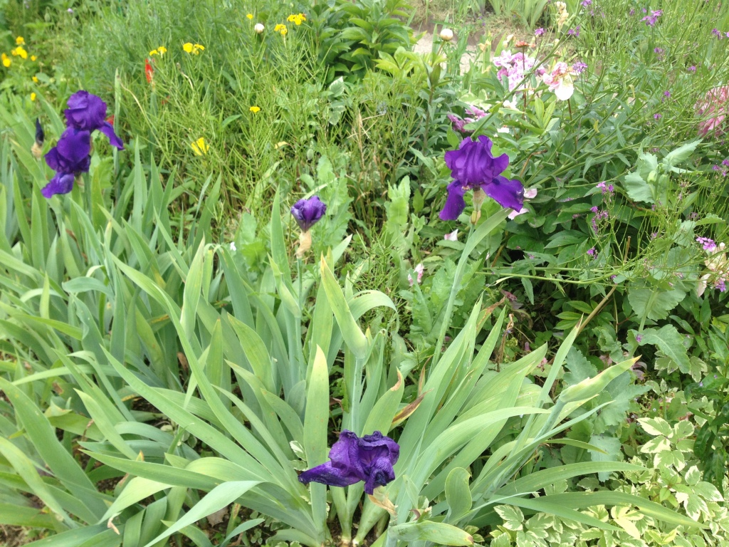 Irises, Giverny