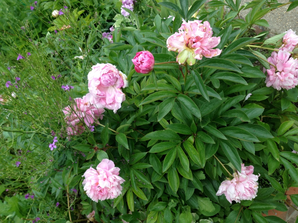 Peonies, Giverny